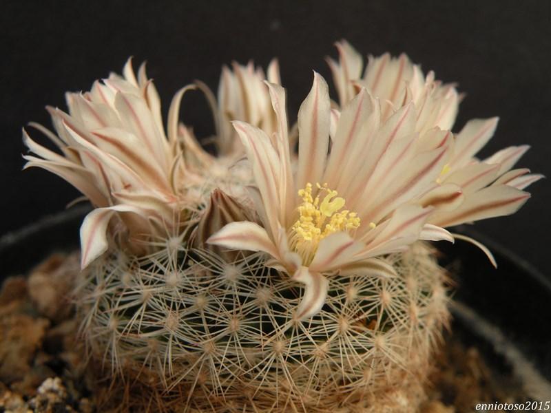 Mammillaria coahuilensis Albiar10