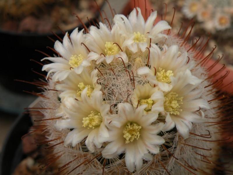 Mammillaria viescensis Dscn0412