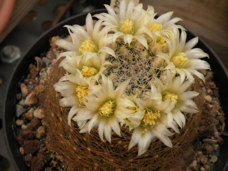Mammillaria picta Dscn0413