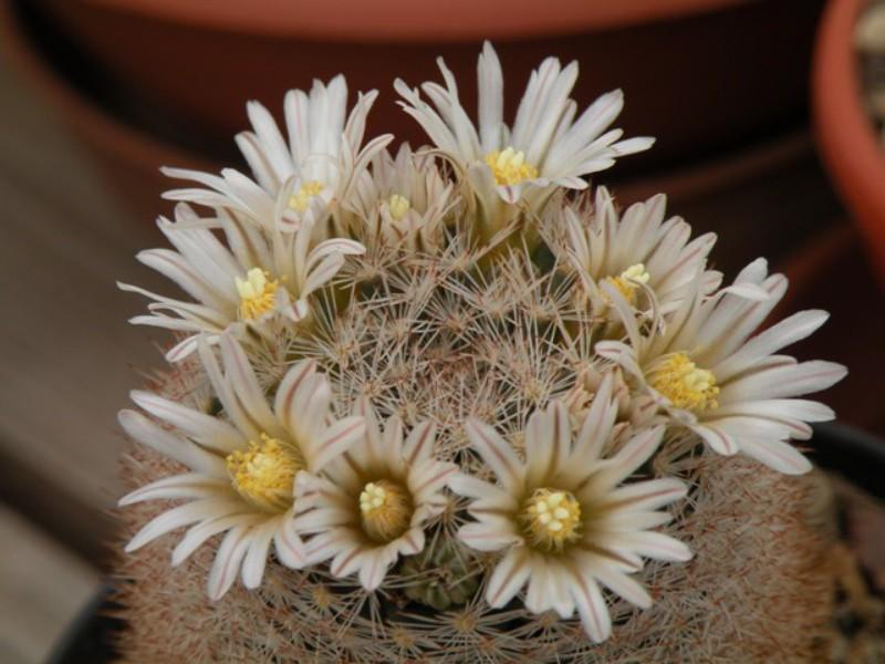 Mammillaria wohlschlageri Dscn0415