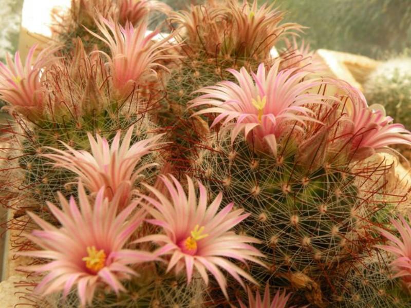 Mammillaria  garessii Garess10