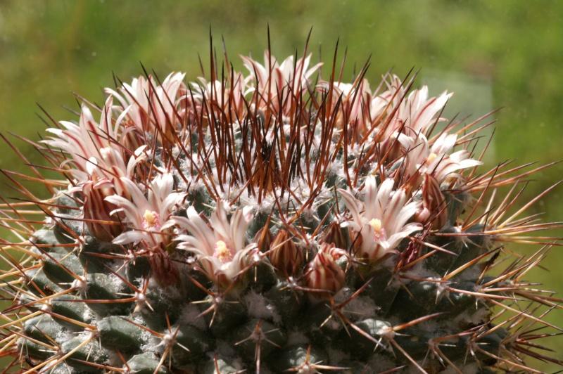 Mammillaria pachycylindrica Gruson10