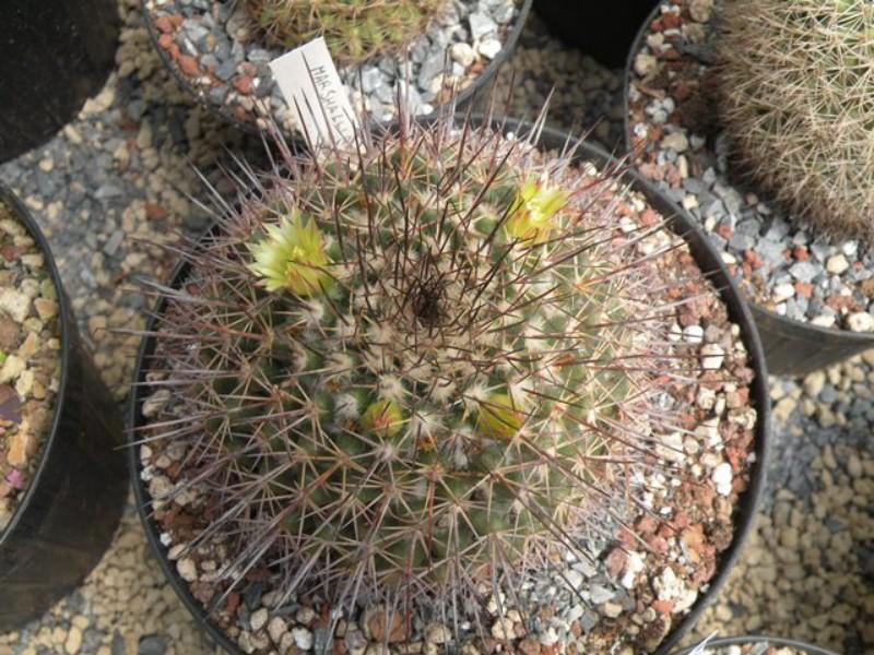 Mammillaria marshalliana Marsch10
