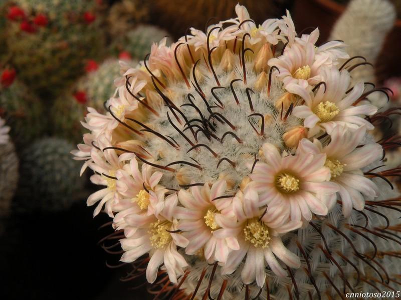 Mammillaria perezdelarosae Perezd11