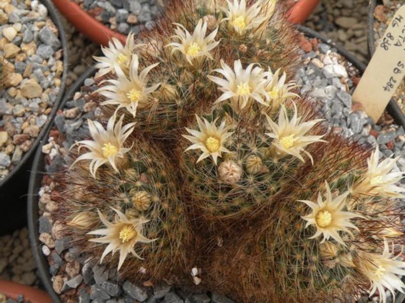 Mammillaria picta Pic1_110