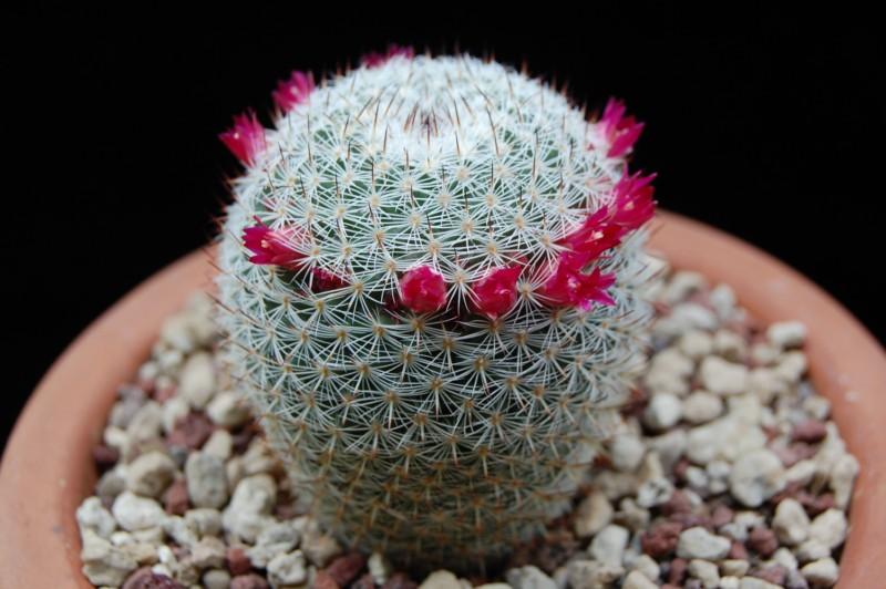 Mammillaria monticola Rep84311