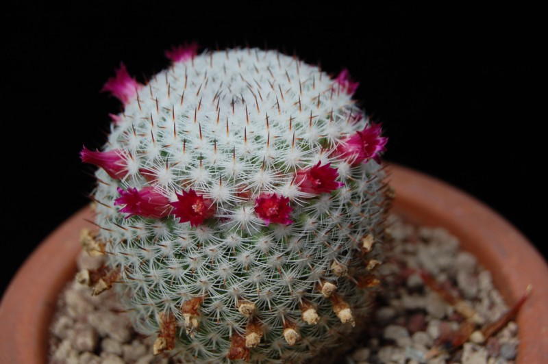 Mammillaria monticola Rep_8413
