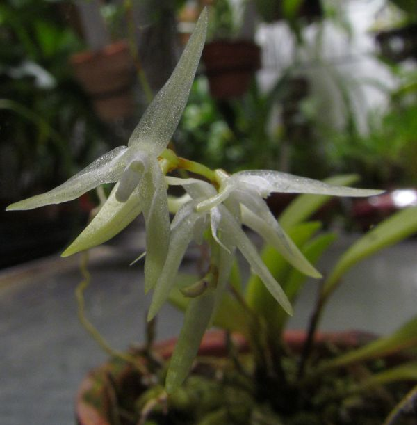 Specklinia linearifolia Img_3317