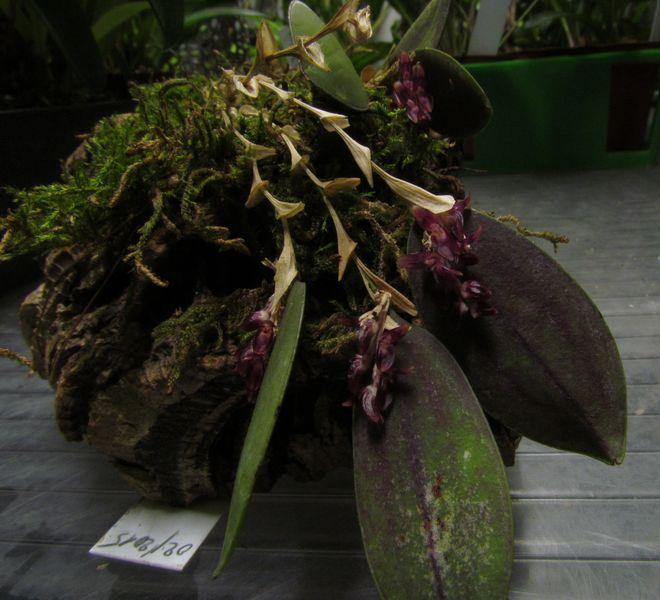 Trichosalpinx escorbarii Img_3425