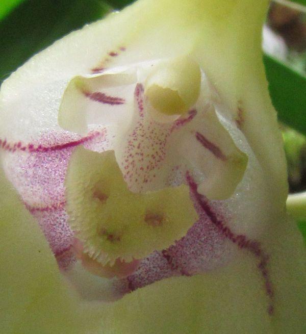 Byrsella coriacea ( ex. Masdevallia coriacea ) Img_3521