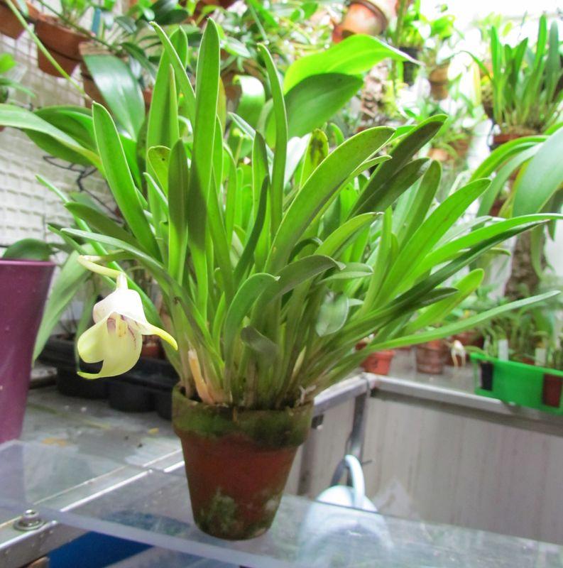 Byrsella coriacea ( ex. Masdevallia coriacea ) Img_3522