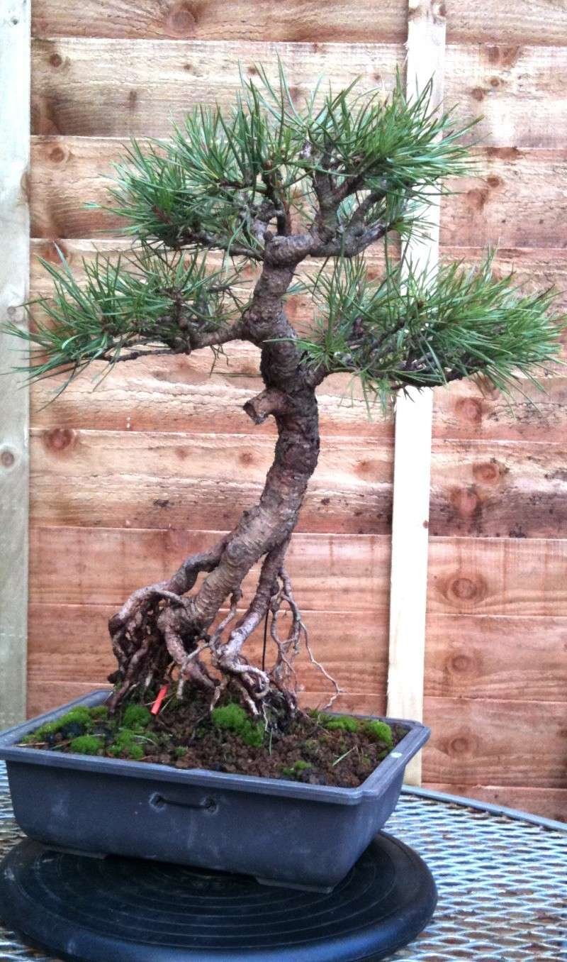Scots Pine: Surgery Required? Img_0011