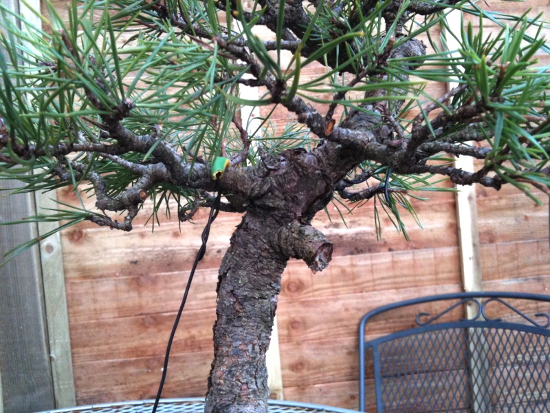 Scots Pine: Surgery Required? Img_0013