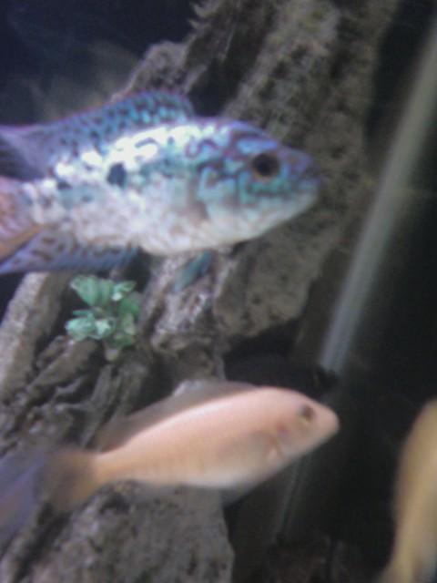 Electric Blue Jack Dempsey Cichlid (Cichlasoma octofasciatum var.) Electr17