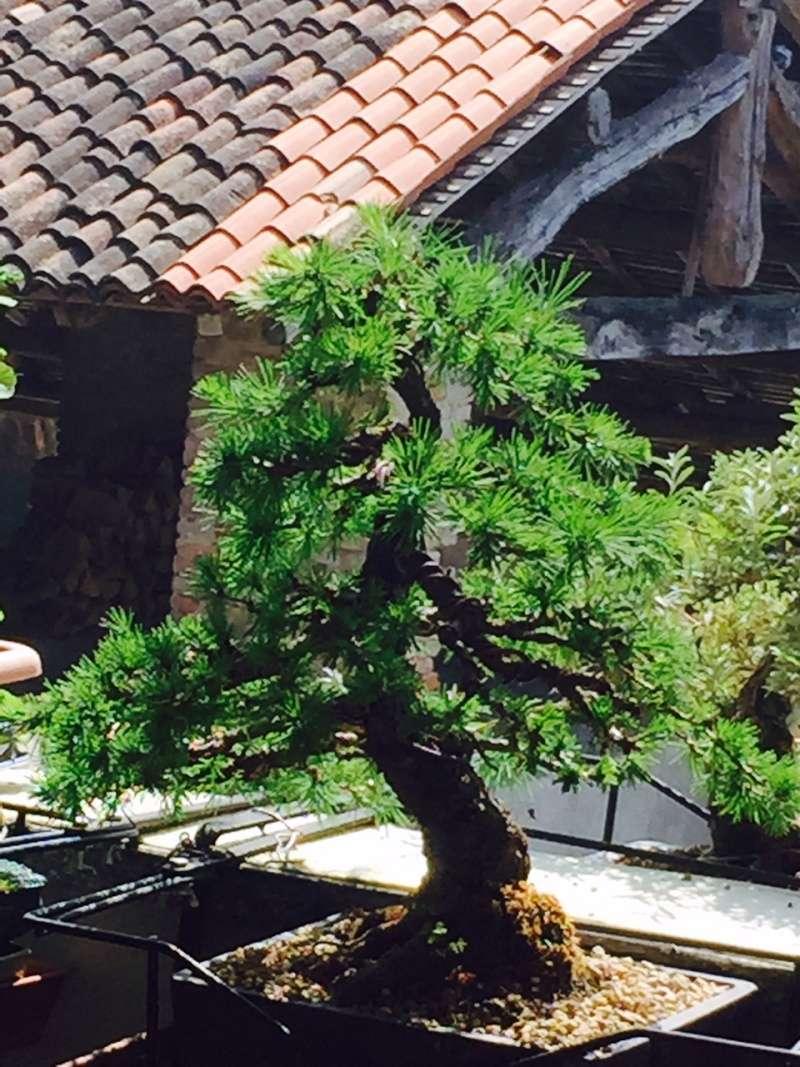 Il mio larice (Larix decidua) Fullsi10