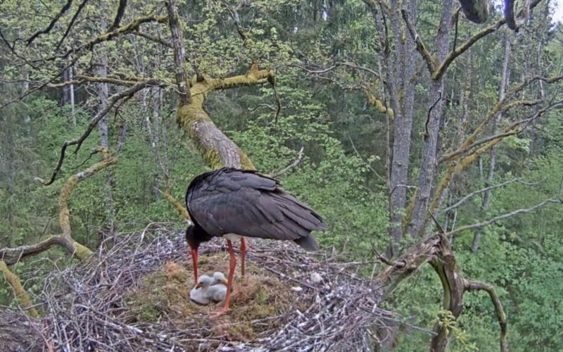 Black Stork Cam 2015 2015-091
