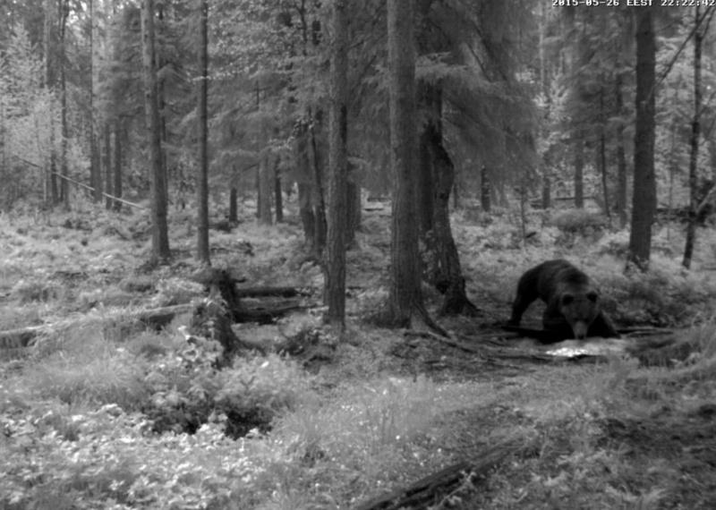 Alataguse Bear Cam 2013 - Page 6 2015-096