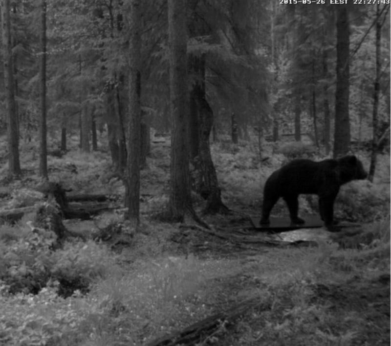 Alataguse Bear Cam 2013 - Page 6 2015-098