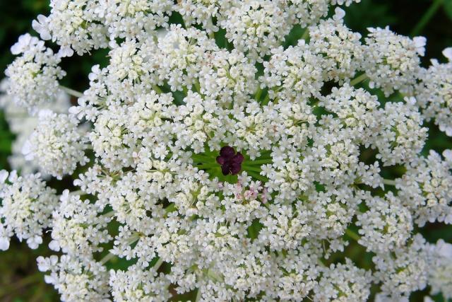Thế giới các loài hoa - Page 3 Daucus10