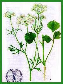 Anis-Pimpinella anisum Anis10