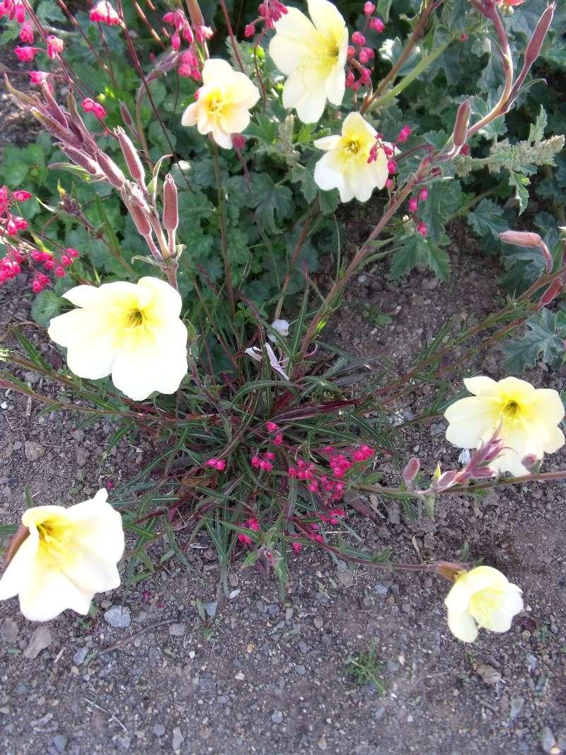 Oenothera stricta sulphuréa Dscf1425