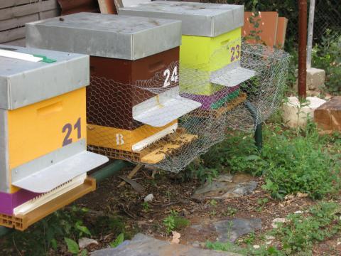 frelon crabro local et frelon VV  ou frelon asiatique Img_7511