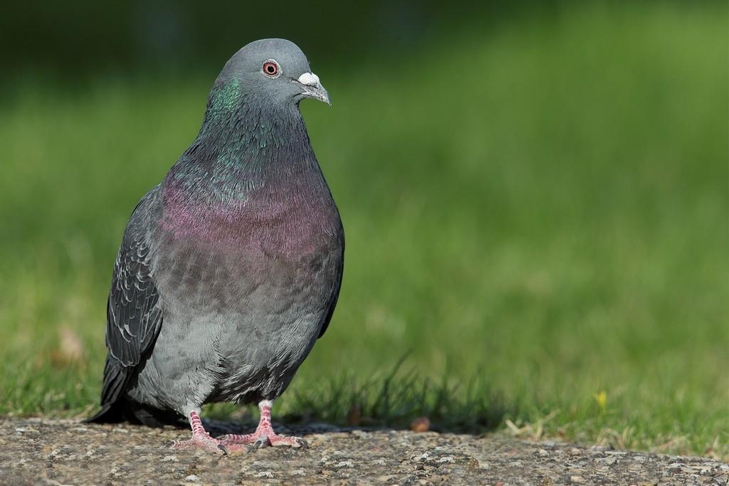 Pigeon biset Pigeon10