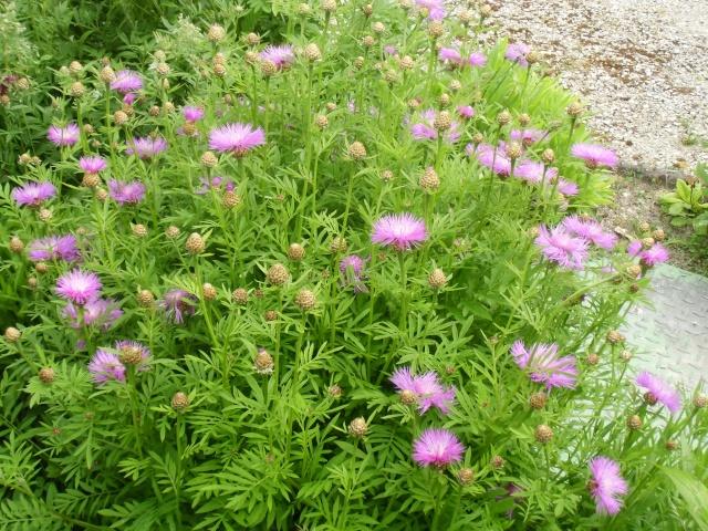 mon jardin ............ Cimg0514