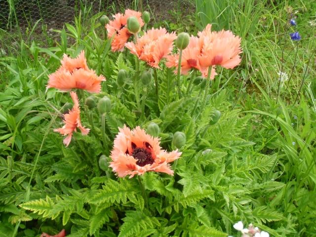 mon jardin ............ Cimg0516