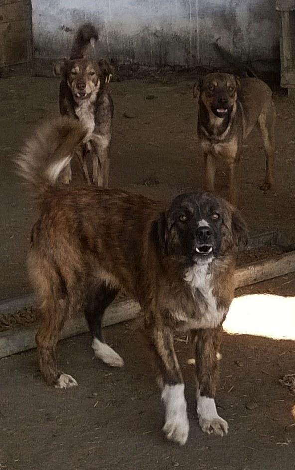 SHERKAN - mâle croisé de taille moyenne - EN FOURRIERE (Pascani) 10603210