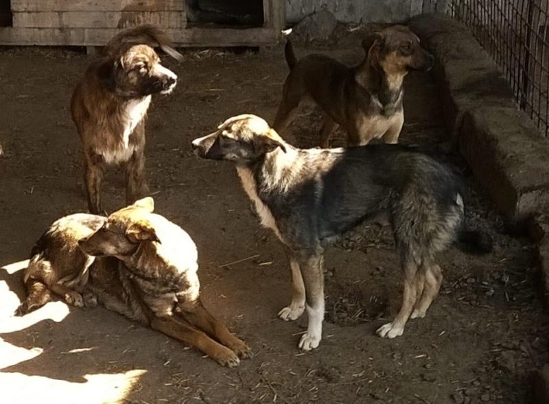 SHERKAN - mâle croisé de taille moyenne - EN FOURRIERE (Pascani) 10989110