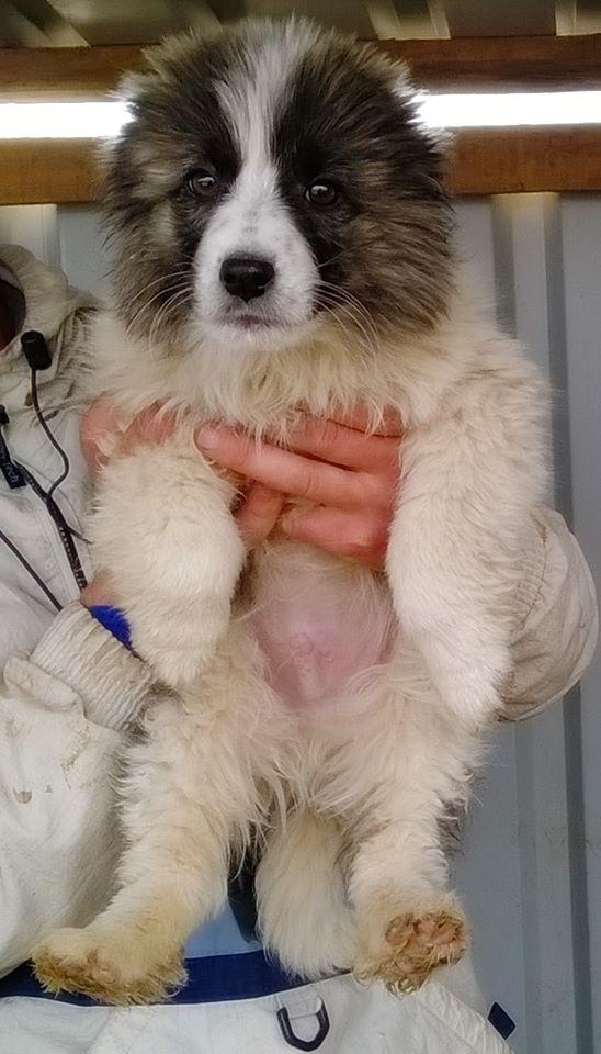 HATCHI, chiot mâle croisé né en 2015 (Pascani) - en pension chez Lucian - adopté par Nathalie (dpt68) - Page 3 11113610