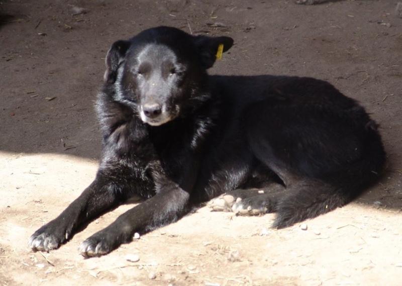 GOTHIC, mâle croisé, taille moyenne, sociable (Pascani) -EN FOURRIERE 11188411