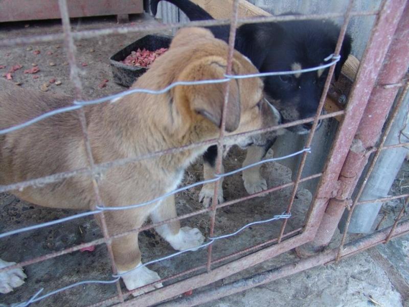 SPEEDY- chiot mâle, taille moyenne né en janvier 2015 - (Pascani)-En pension chez Lucian 54930110