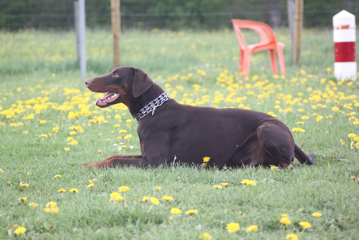 Saillie 2015 Bolcanstern Dobermann - Page 2 Img_6329