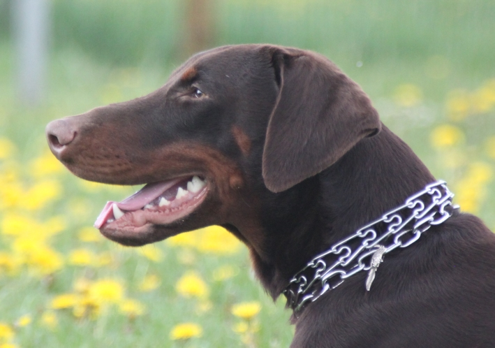 Saillie 2015 Bolcanstern Dobermann - Page 2 Img_6330