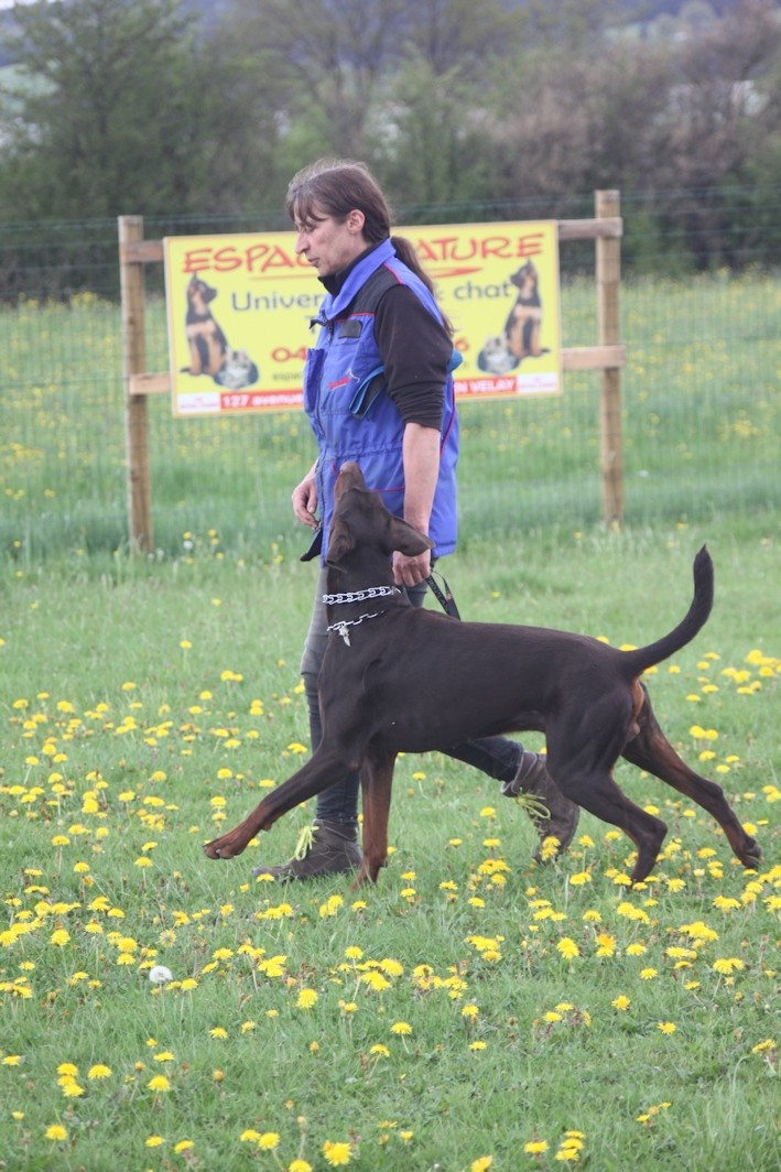 Saillie 2015 Bolcanstern Dobermann - Page 2 Img_6331