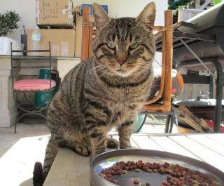 Chat mâle, tigré, 5 ans, Var Chat_l10