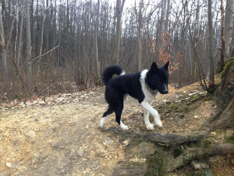 Hoschi, chien d'ours de Carélie mâle âgé de 3 ans URGENT sous couvert asso Eden Valley Careli12