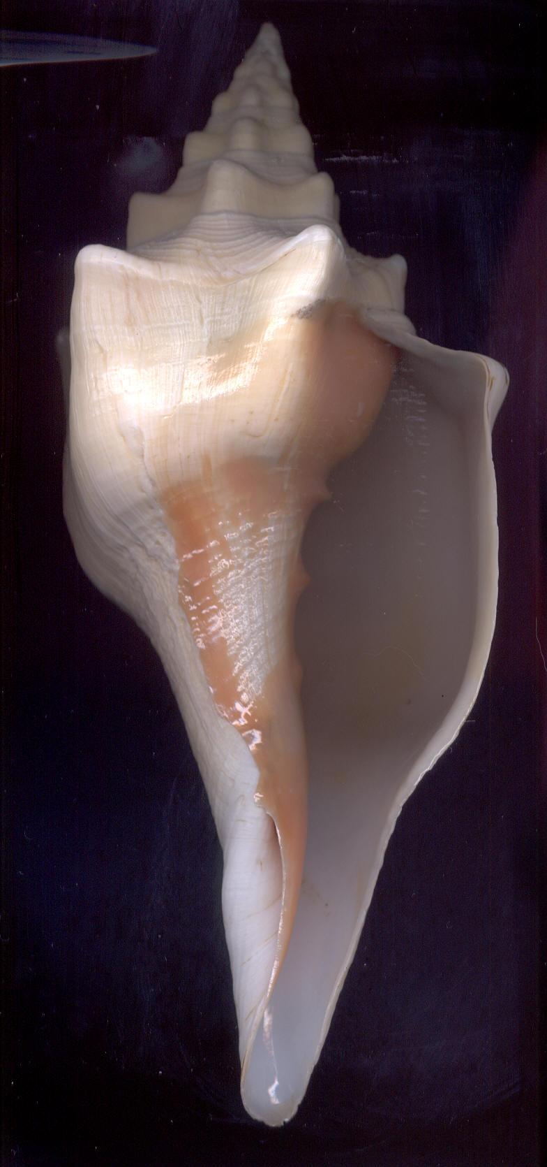Turbinella angulata - (Lightfoot, 1786) Angula10