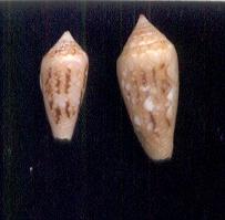 Conus (Cylinder) canonicus   Hwass in Bruguière, 1792 - Page 4 Legatu10