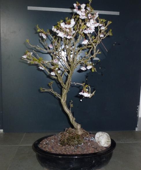 prunus kojo no mai Prunus10