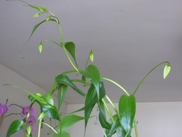 Le fameux Gloriosa  P1000715