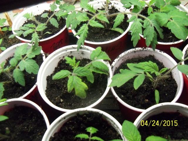 Tomato Tuesday 2015 - Page 2 04-24-16