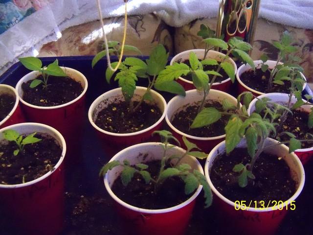 Tomato Tuesday 2015 - Page 3 05-13-11