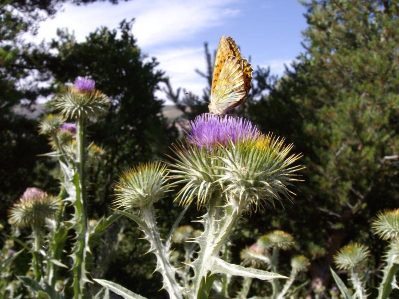 photos de papillons en pleine nature  Carlit10