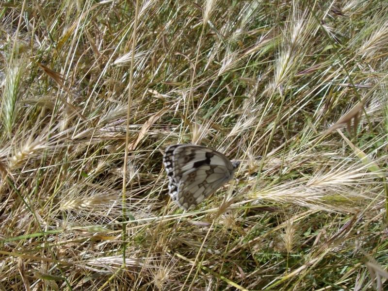 photos de papillons en pleine nature  Carlit11