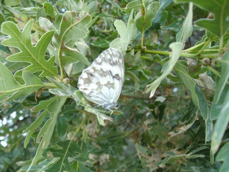 photos de papillons en pleine nature  Imgp0510
