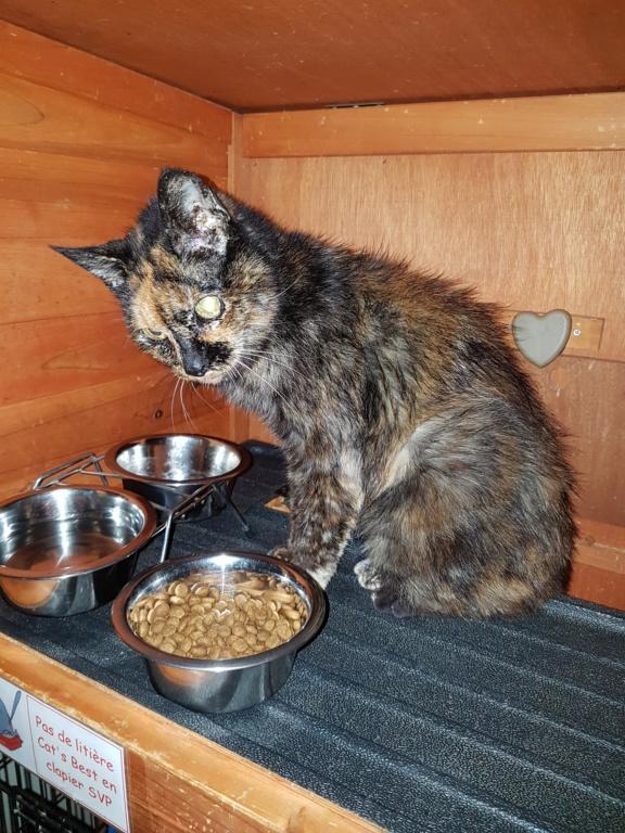 Trouvée chatte écaille entre la gare et le Cabirol à Colomiers 20181010