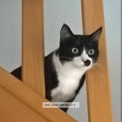 Perdue chatte noire et blanche Allée Descartes à Colomiers 39122310